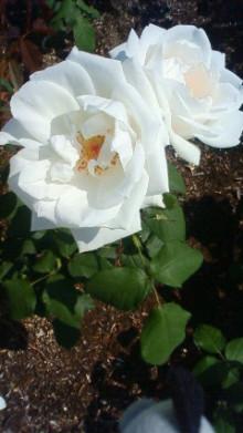 """$「未病」「体質改善」「不定愁訴」に 東洋三大療法""""推拿(すいな)整体""""-shanti pic white rose"""