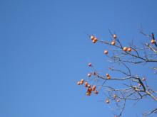 kingstone page-柿と青空