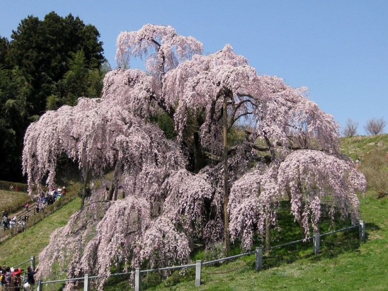 三春瀧櫻(滝桜)