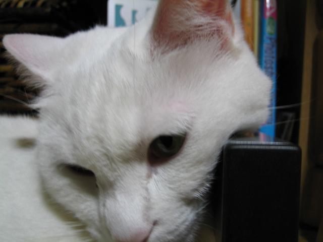 邪魔する小デブ猫