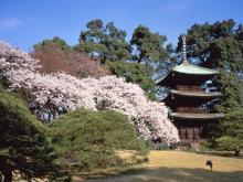 椿山荘庭園の桜