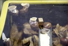 栗の葉を敷き詰めた養殖箱の中