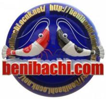 紅蜂シュリンプ Benibachi.com