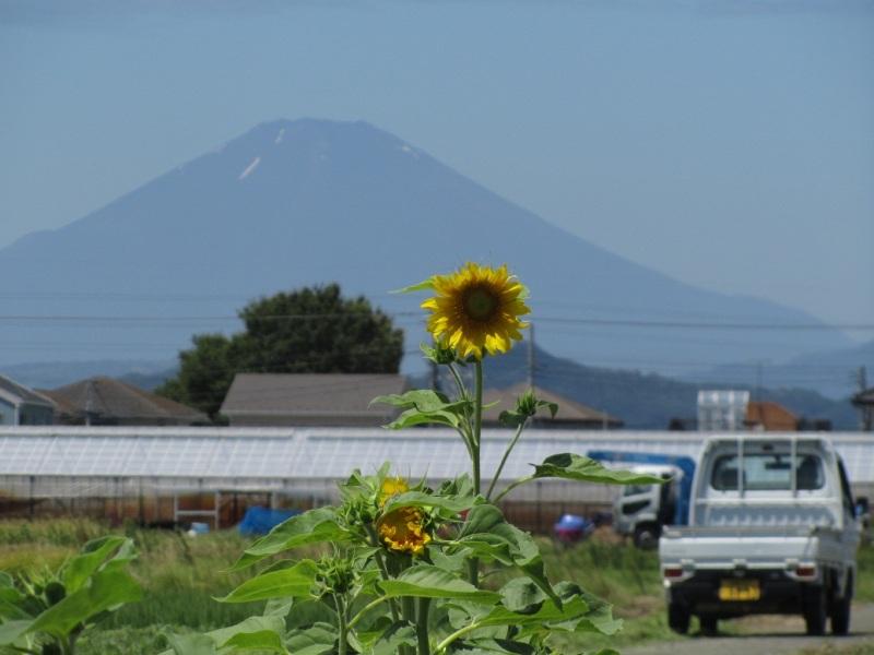 富士山 ひまわり